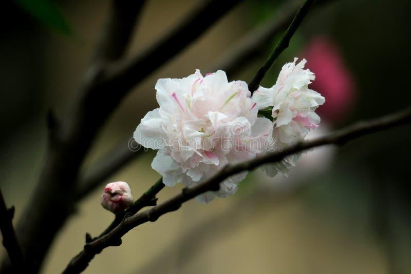 """El melocotón blanco florece en ƒèŠ± del ¡del æ del ² del ‰ del è del ½ del ç™ del """"del æ˜¥å¤©çš de la primavera fotografía de archivo"""