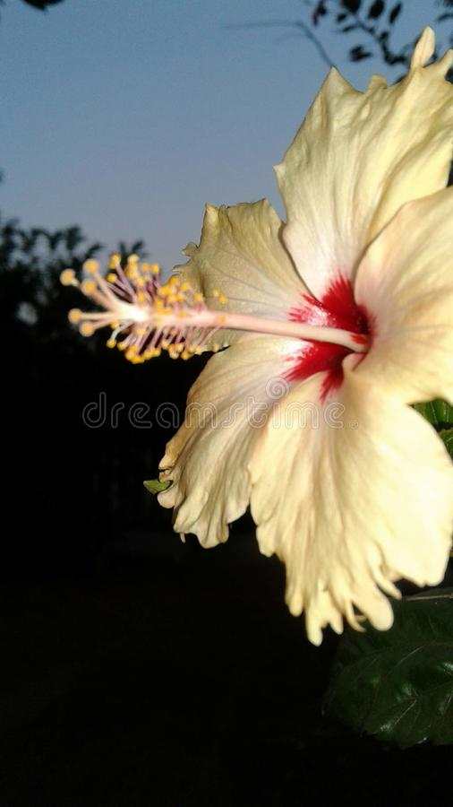 El melocotón de la antera de la flor de la salida del sol colorea gudhal foto de archivo