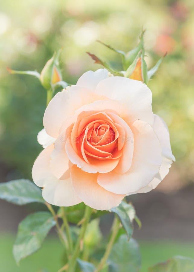 El melocotón en colores pastel subió floreciendo en rosaleda del verano imagen de archivo