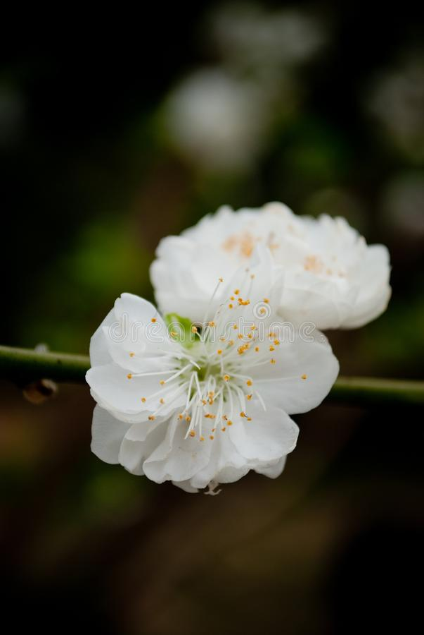 El melocotón florece en marzo fotografía de archivo