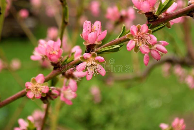 El melocotón rosado florece rama foto de archivo