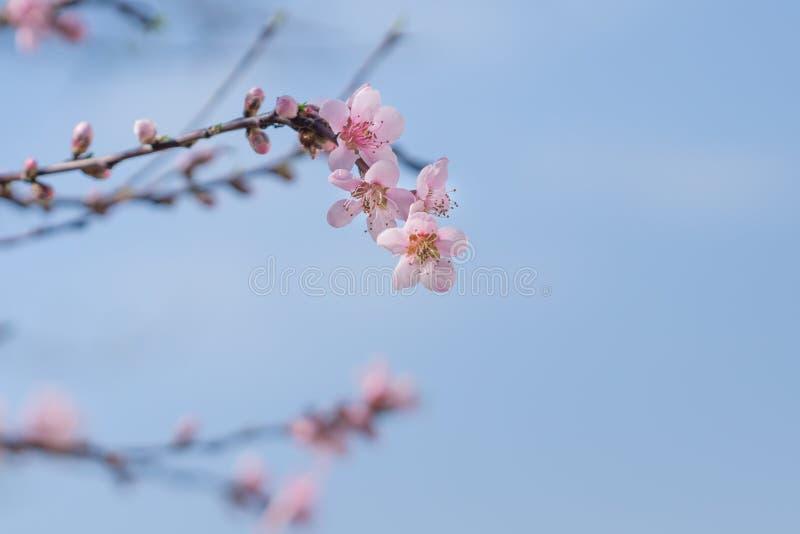 El melocotón rosado hermoso floreciente florece en ramas con el cielo azul fotografía de archivo libre de regalías