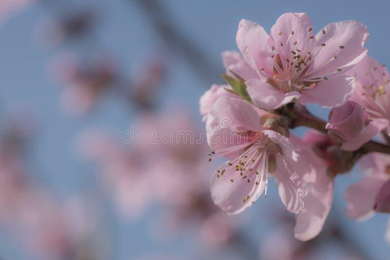 El melocotón rosado suave florece en fondo azul claro del bokeh imagen de archivo libre de regalías