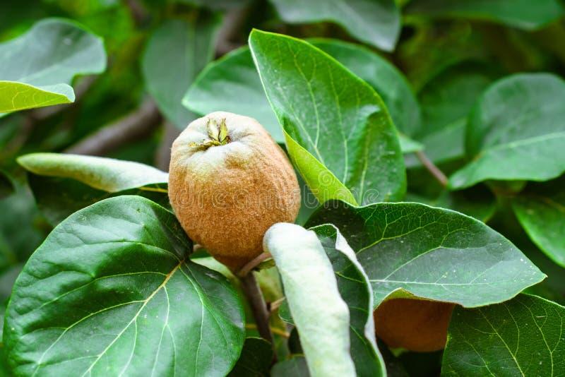 El membrillo de maduración da fruto en un árbol contra la perspectiva de las hojas verdes imagen de archivo