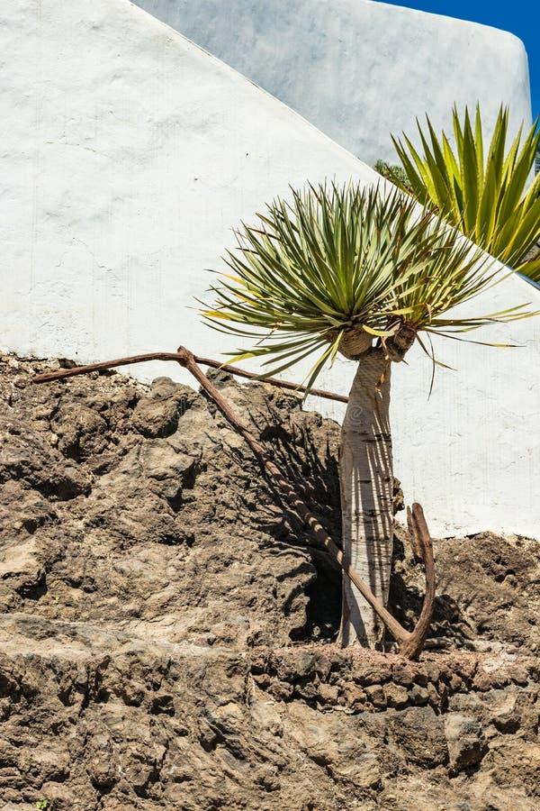 El metal viejo aherrumbró ancla en rocas de la lava en el tronco de un árbol de dragón joven D?a asoleado caliente Puerto de la C fotografía de archivo libre de regalías