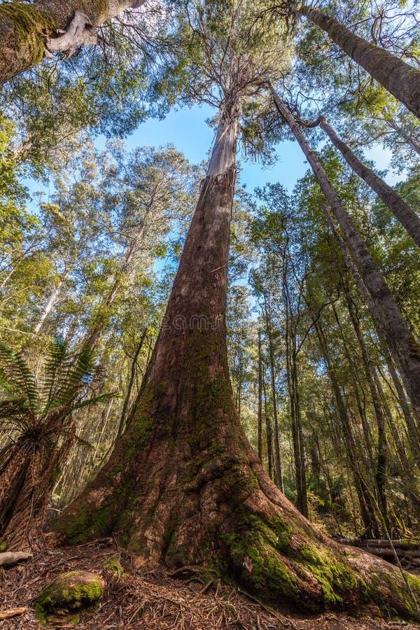 El mirar alto para arriba el árbol de eucalipto alto en el Mt PA nacional del campo fotos de archivo