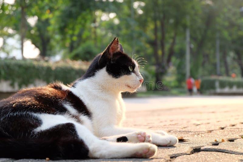 El mirar fijamente blanco y negro del gato imagenes de archivo