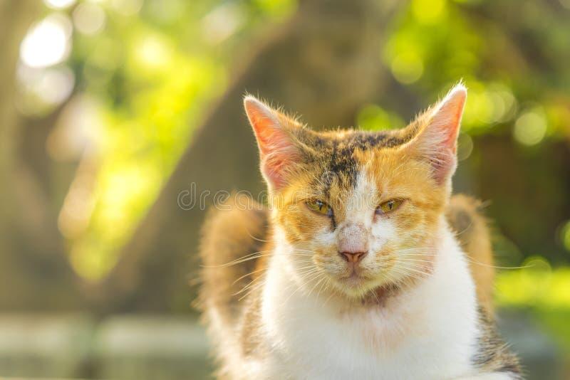 El mirar fijamente de mentira anaranjado y blanco del gato de gato atigrado la lente foto de archivo