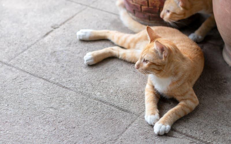 El mirar fijamente de mentira del gato tailandés amarillo fotos de archivo