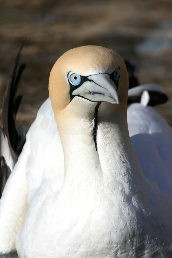 El mirar fijamente del gannet del cabo fotos de archivo