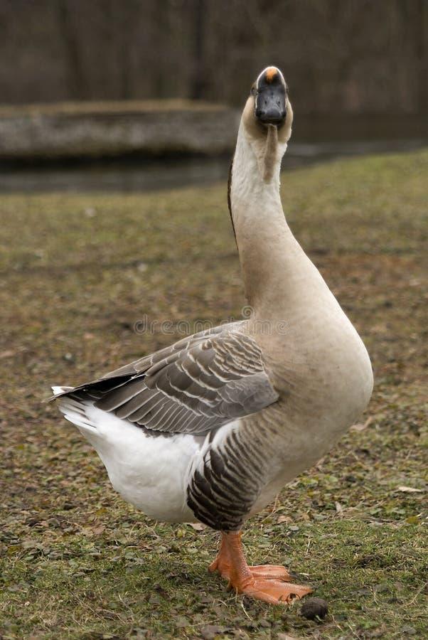 El mirar fijamente del ganso del cisne fotografía de archivo libre de regalías