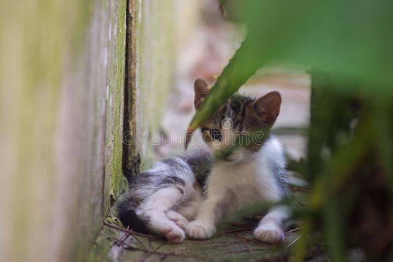 El mirar fijamente del gatito del calicó fotos de archivo libres de regalías