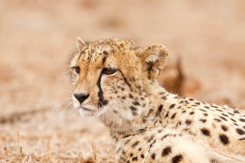 El mirar fijamente del guepardo foto de archivo libre de regalías