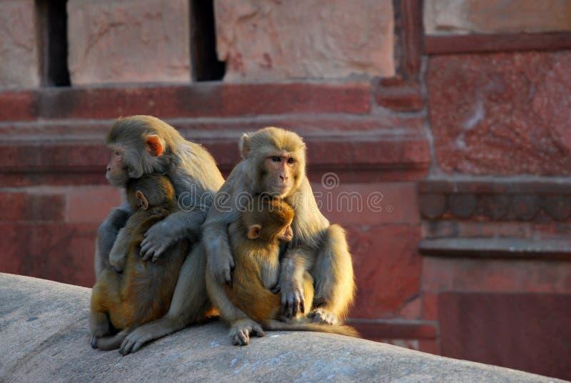 El mirar fijamente del macaque del macaco de la India imagenes de archivo