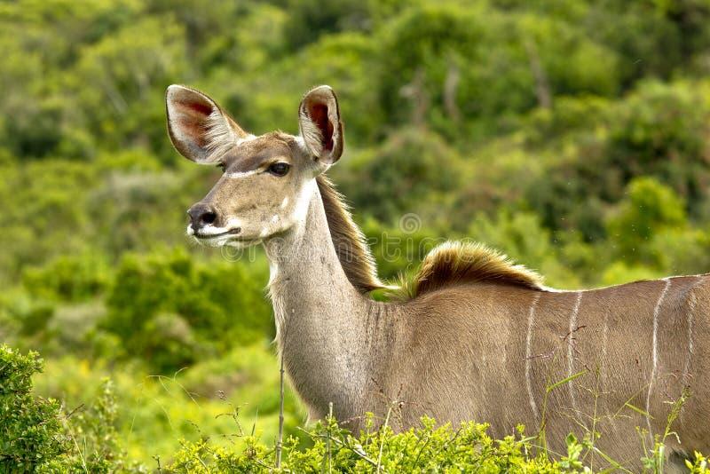 El mirar fijamente femenino del antílope femenino joven del kudu foto de archivo