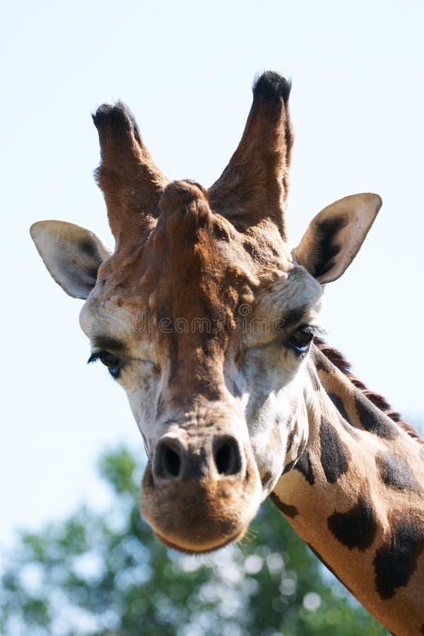 El mirar fijamente principal de la jirafa la cámara.