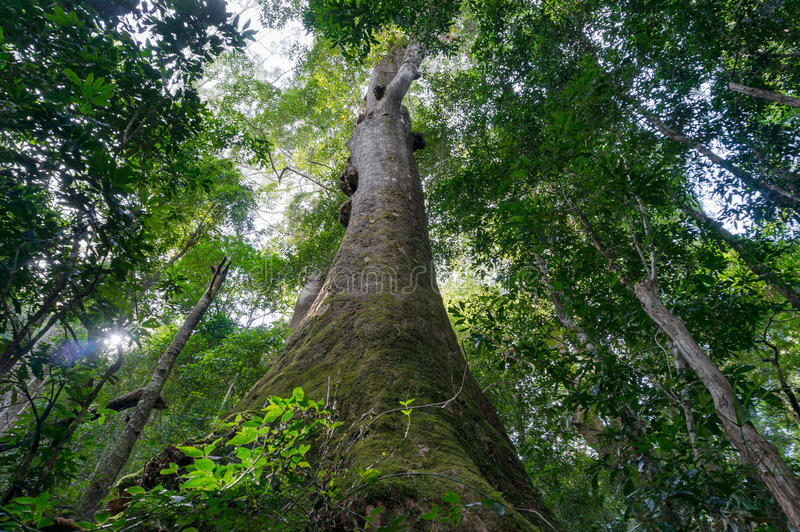 El mirar para arriba el árbol tropical gigante en selva tropical fotos de archivo libres de regalías