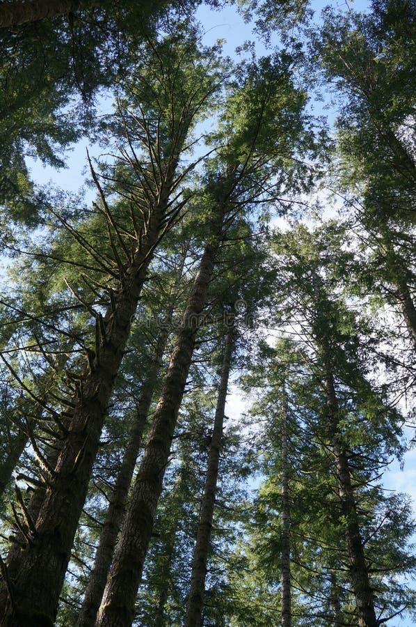 El mirar para arriba los árboles altos imagenes de archivo