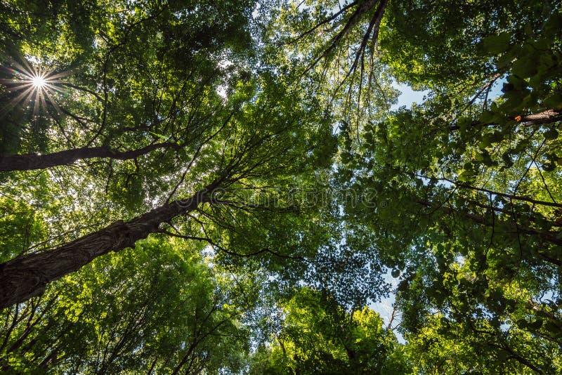 El mirar para arriba un toldo de bosque foto de archivo