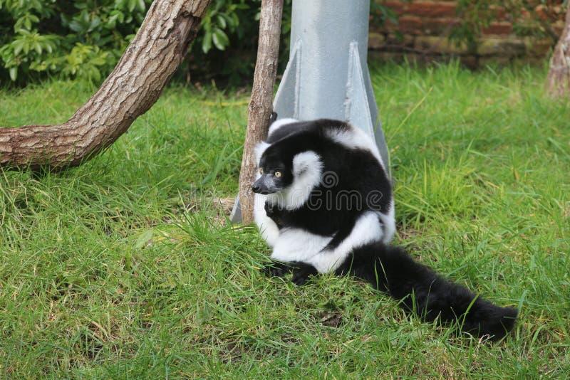 El mirar superado blanco y negro del lémur abajo la hierba foto de archivo