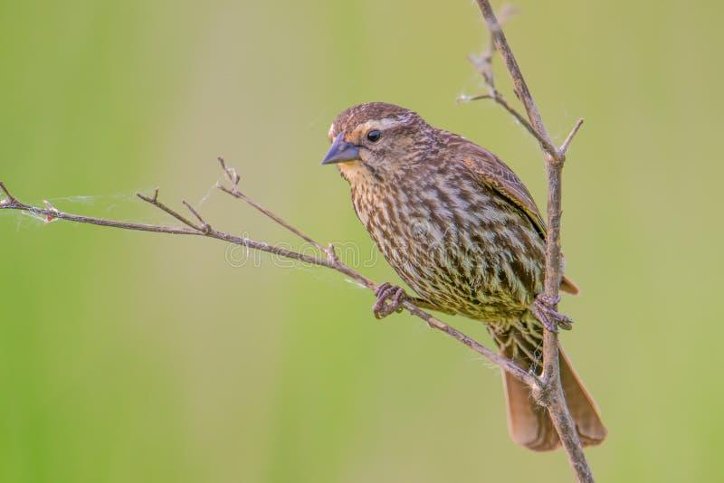 El mirlo de alas rojas femenino que cuelga sobre una rama con un bastante borroso broncea y fondo/bokeh verdes - en el valle de M imagen de archivo