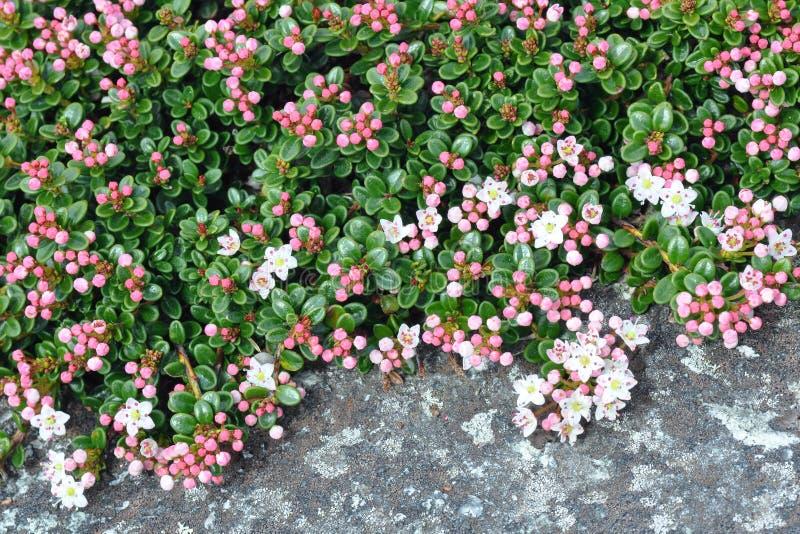 El mirto de arena florece macro del primer fotos de archivo libres de regalías