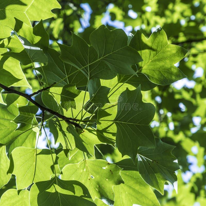 El modelo armónico del verde se va detalladamente fotos de archivo libres de regalías