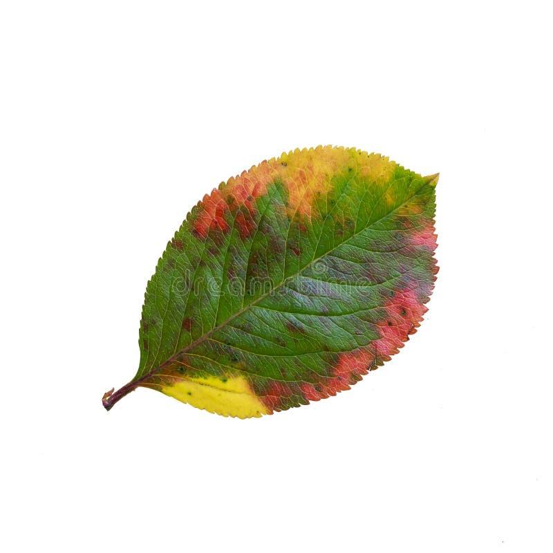 El modelo brillantemente coloreado de Apple de la hoja en un blanco aisló backgrou fotografía de archivo libre de regalías