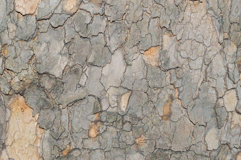 El modelo del camuflaje le gusta la corteza de árbol de Platunus del sicómoro imágenes de archivo libres de regalías