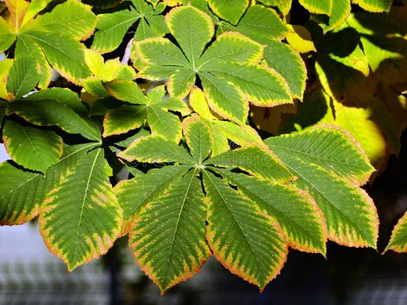 El modelo del otoño en las hojas de la castaña imagen de archivo libre de regalías