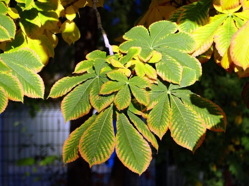 El modelo del otoño en las hojas de la castaña fotografía de archivo libre de regalías