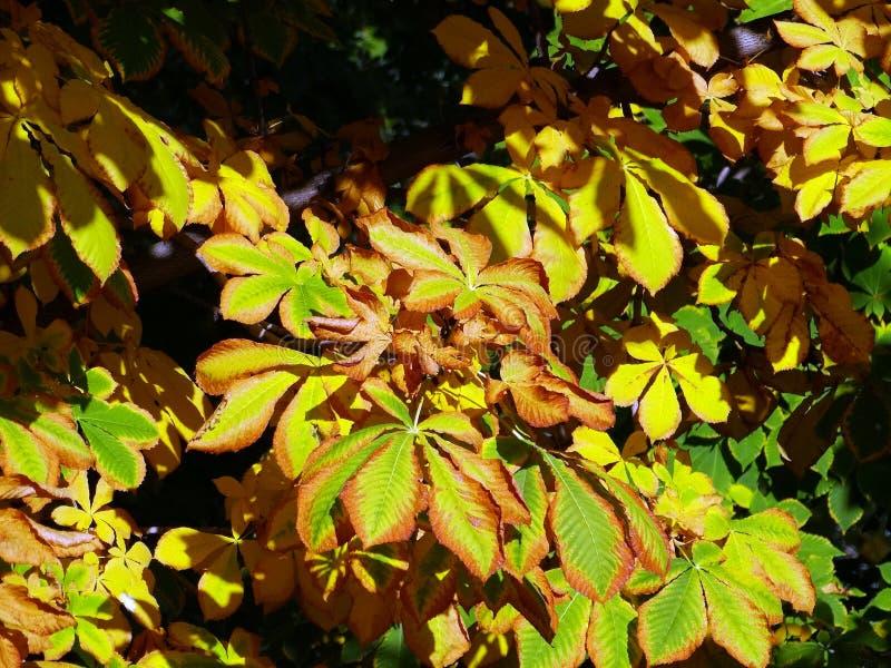 El modelo del otoño en las hojas de la castaña imágenes de archivo libres de regalías