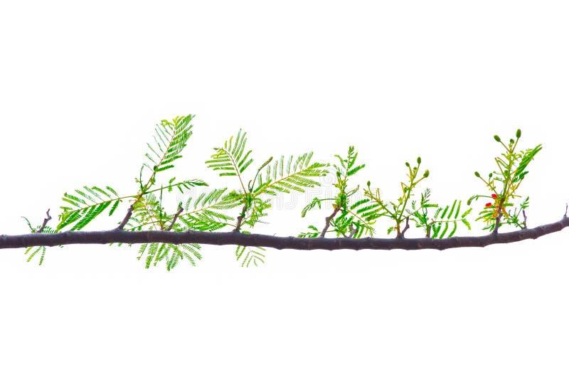 El modelo hermoso del regia real del Delonix de Poinciana se va en su rama aislada en el fondo blanco fotos de archivo libres de regalías