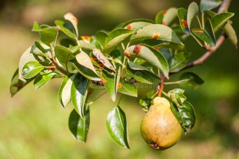 El moho europeo de la pera es una enfermedad fungicida común de peras fotos de archivo libres de regalías