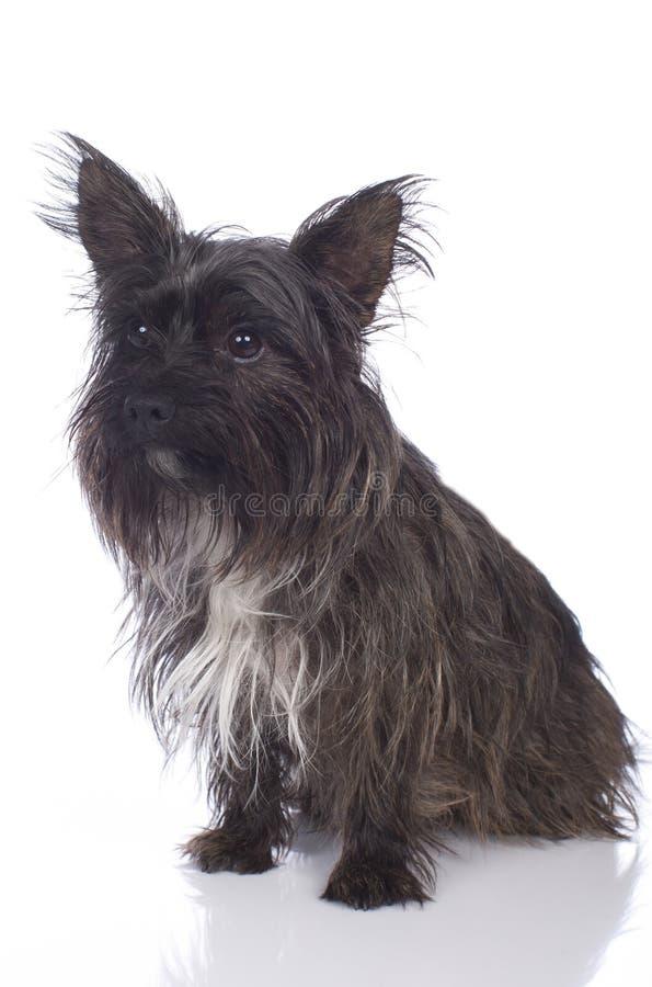 El mojón Terrier aisló imagen de archivo