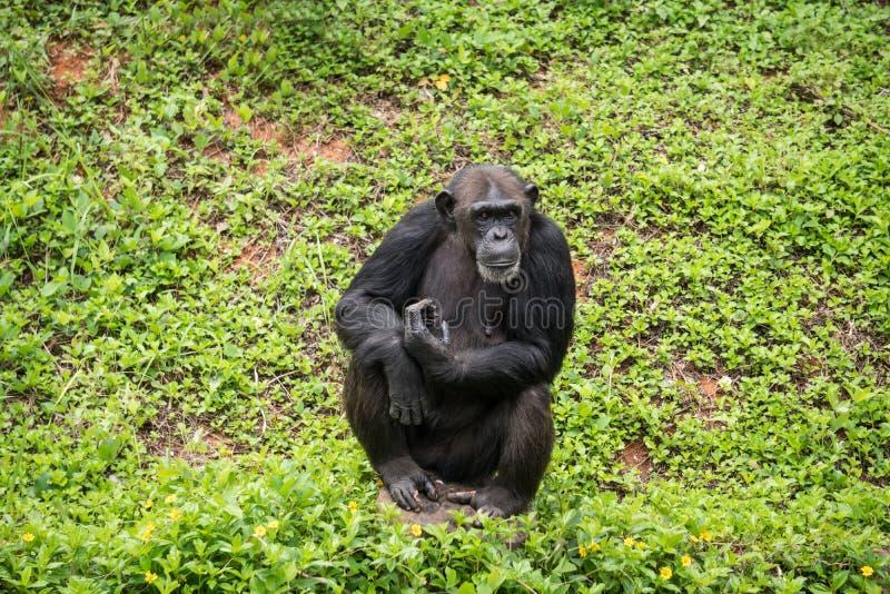 El mokey del chimpancé se sienta en árbol del tocón con la hierba imagen de archivo libre de regalías