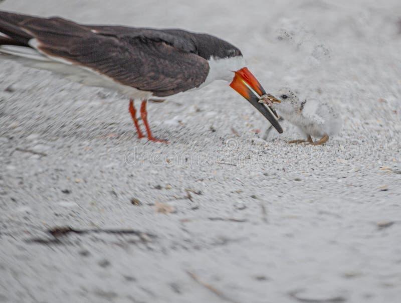El momento blando entre la desnatadora y el polluelo adultos de la desnatadora en rocas indias vara, la Florida imagenes de archivo