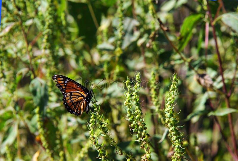 El monarca disfruta de la reserva negra del nacional del lago bayou imagen de archivo libre de regalías