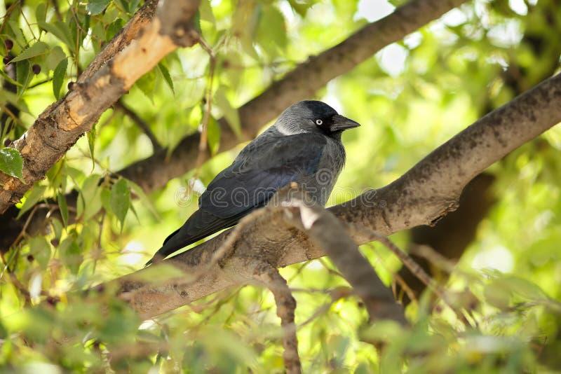 El monedula occidental joven del Corvus del grajo se encaramó en una rama de un Celtis europeo del árbol de ortiga australis imágenes de archivo libres de regalías