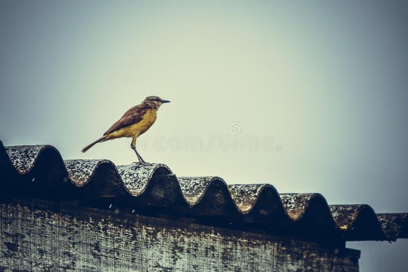 el monkingbird Tiza-cejudo ve a continuación fotografía de archivo libre de regalías