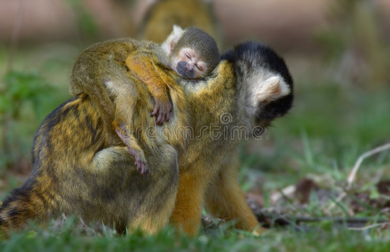 El mono de ardilla del bebé dormido en madres mueve hacia atrás foto de archivo
