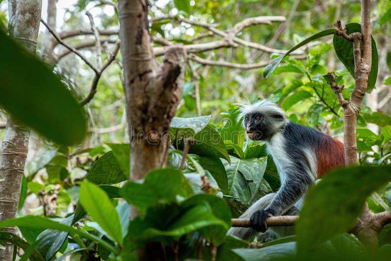 El mono de colobus rojo de Zanzíbar foto de archivo