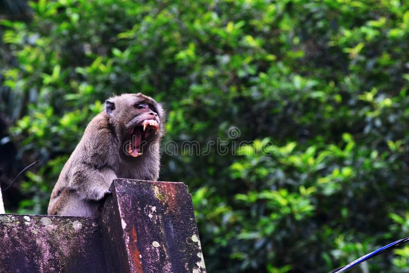 El mono de la cola larga solamente es bostezo imagen de archivo
