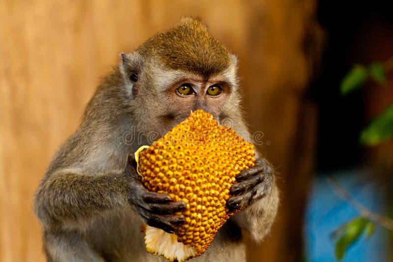 El mono de la fauna come el jackfruit foto de archivo