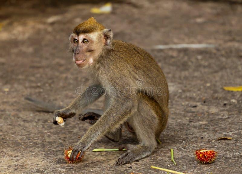 El mono de la fauna está comiendo las frutas imágenes de archivo libres de regalías