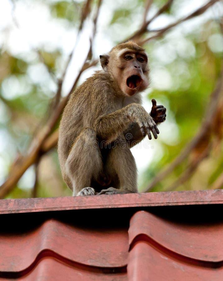 El mono de la fauna que comía la comida de la bolsa de plástico se cerró a la basura, Brunei fotos de archivo