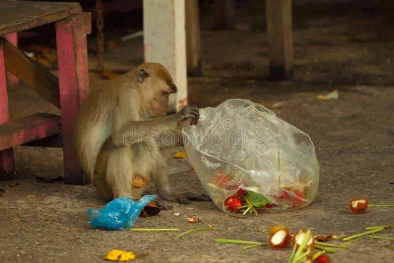 El mono de la fauna que comía la comida de la bolsa de plástico se cerró a la basura, Brunei fotografía de archivo libre de regalías