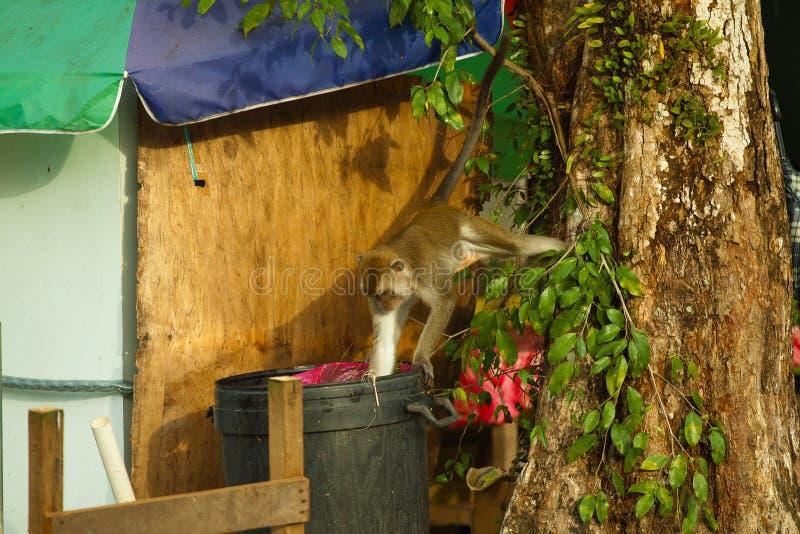 El mono de la fauna que comía la comida de la bolsa de plástico se cerró a la basura, Brunei imagen de archivo