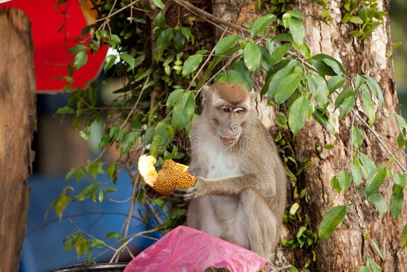 El mono de la fauna que comía la comida de la bolsa de plástico se cerró a la basura, Brunei imagen de archivo libre de regalías