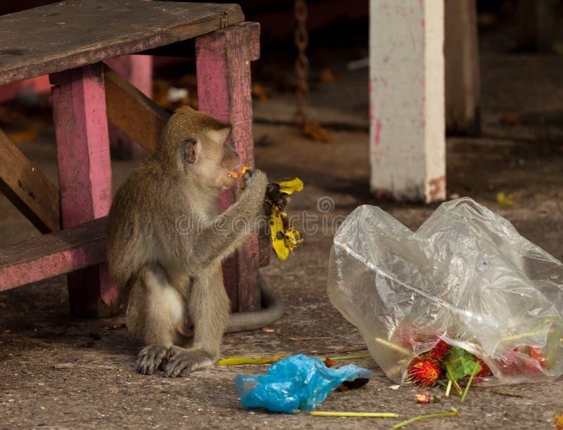 El mono de la fauna steeling la basura, Brunei imagen de archivo libre de regalías